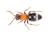 Physetopoda Halensis Wasp, Known As Velvet Ant Or Cow Killer Or Cow Ant. Mutillidae Isolated On White Background.