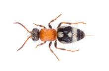 Physetopoda Halensis Wasp, Kno...