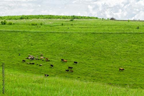 Poster de jardin Vache A small herd of cows with a shepherd grazes in a meadow