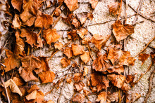 Dead Leaves On A Branch Hanging On A Plastered Wall. Organic Elements That Mark The Transition To Fall And Winter