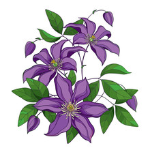Bouquet With Outline Purple Clematis Or Traveller's Joy Ornate Flower Bunch, Bud And Green Leaves Isolated On White Background.