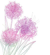 Corner Bouquet Of Outline Allium Giganteum Or Giant Onion Flower In Pastel Purple Isolated On White Background.