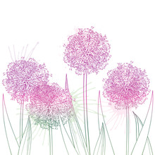 Bunch Of Outline Allium Giganteum Or Giant Onion Flower In Pastel Purple Isolated On White Background.