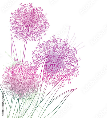 Corner bouquet of outline Allium giganteum or Giant onion flower in pastel purple isolated on white background Wallpaper Mural