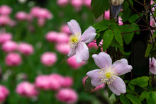Pink Clematis 'Mayleen'. A Cli...