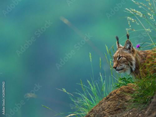 La pose en embrasure Lynx Eurasian lynx (Lynx lynx)