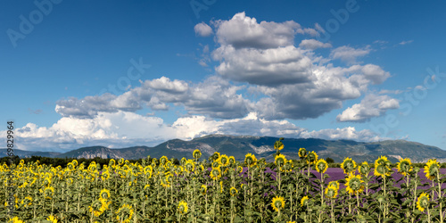 Fototapeta premium Lavender 39