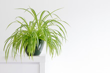 Beautiful Spider Plant, Chlorophytum, Isolated In A Minimalist Living Room