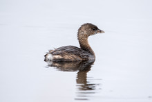 A Pied Billed Grebe Swimming.
