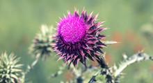 Pink Thistle Flowers In Wild (herbal Medicine Silybum Marianum, Milk Thistle, Cardus Marianus, Mediterranean Milk Cardus Marianus). Floral Blue-violet Background. Pink Spiny Flower. Close-up. Nature