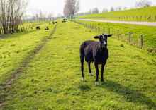 Newly Sheared Black Male Sheep Looks At The Photographer