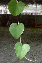 垂れ下がった3枚の葉