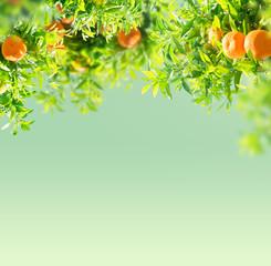 Fototapeta Ogrody Tangerine tree garden