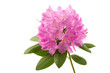 canvas print picture Rhododendron