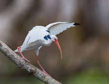 White Ibis (Eudocimus Albus) Walking Down A Log With Wings Up Along The Silver River In Silver River State Park In FloridaWhite Ibis