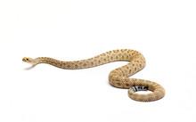 Santa Catalina Island Rattlesnake On White Background
