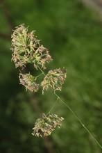 Long Grass Dactylis Glomerata Blossoming