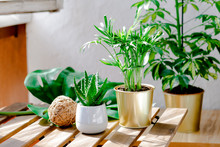 Succulent Plants Aloe And Palms In Different Pots. Potted House Plants And Coconut Ball Decor On Wooden Garden Table On The Balcony