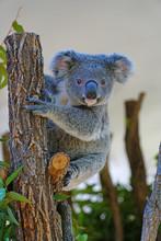 A Koala On A Eucalyptus Gum Tr...