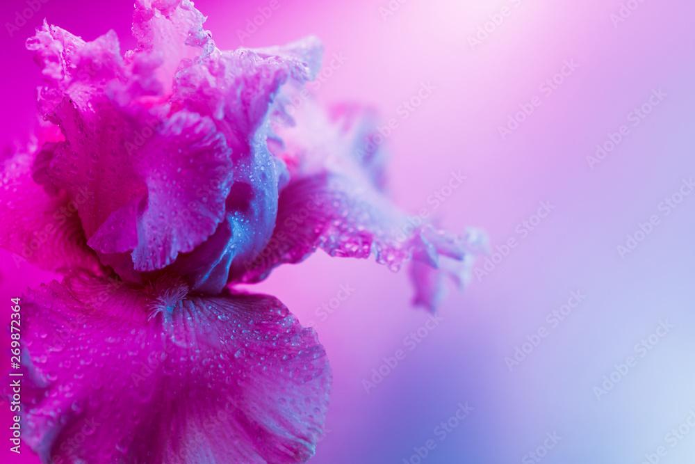 Fototapeta Vivid neon colored iris flower bud on multi colored background.