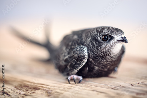 Foto Hand Raised Young Swifts
