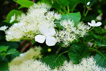 White Clusters Of Climbing Hyd...