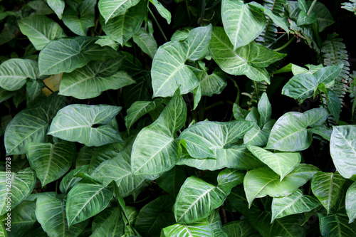 Garden Poster Spring Beautiful background with large tropical leaves.