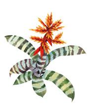 Brumelia Striped Paint Isolated Plant