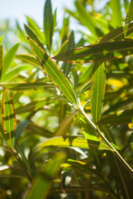 Oleander Leaves In The Sun