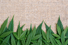 Cannabis Leaves On The Backgro...