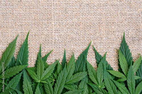 Cannabis leaves on the background of coarse hemp fabric Canvas Print