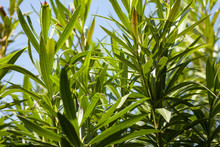 Oleander Leaves In The Sun #18
