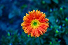 Exotic Flower Of Gebera In The Park
