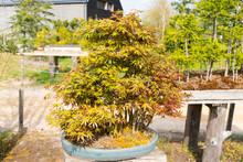 Japanese Maple Bonsai In Bonsai Garden