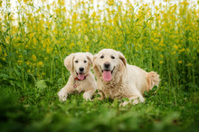 Golden Retriever Dog Mom And Puppy On A Spring Walk Beautiful Portrait In Flowers