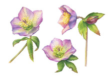 Spring Set Of Wild Flower Hellebore (also Known As Winter Rose, Christmas Rose, Lenten Hellebore). Hand Drawn Watercolor Painting Illustration Isolated On White Background.