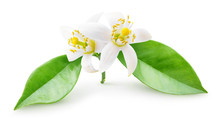 Isolated Orange Blossoms. Smal...