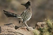 A Roadrunner In The Desert.  Near Kingman, AZ, USA.