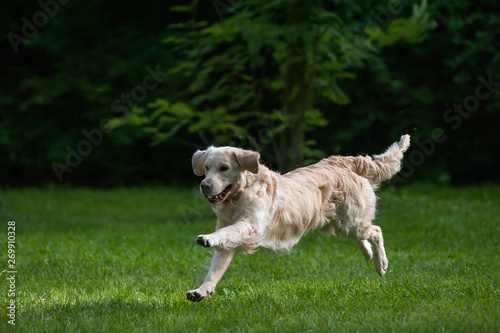 Running dog on a green lawn