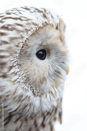 Poster Owl winter grey owl sits hunched, a close plan, portrait