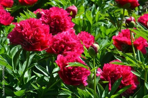 paeonia-officinalis-l-rote-gartenpfingstrosen-uppig-bluhend