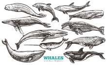 Whales Sketch Set. Big Collect...