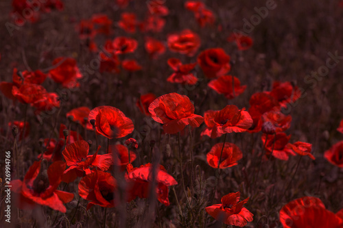 Montage in der Fensternische Violett rot Flowers Red poppies bloom in the wild field. Beautiful field red poppies with selective focus, soft light. Natural Drugs - Opium Poppy. Glade of red wildflowers