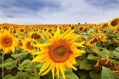 Fotografie, Obraz  sunflower blossom with a bee gather nectar, heavy clouds in the sky before thund