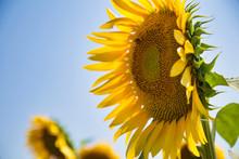 Bee In Macro Photo Of A Sunflo...
