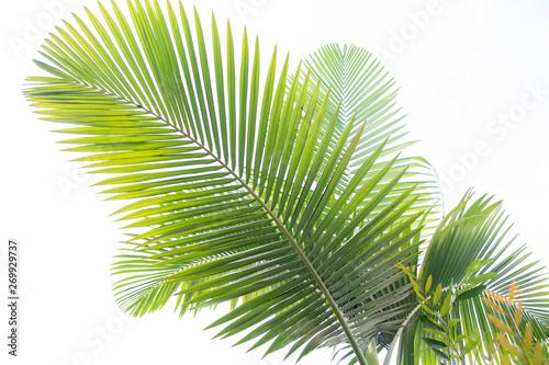 Poster Palmier palmfronds on white background