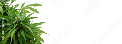 Photo  Cannabis plant on white background