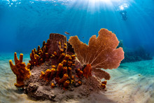 Tube Sponges And Sea Fan On Th...
