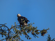 Young Eagle Perched On Top Of Pine Looking Around In Spring