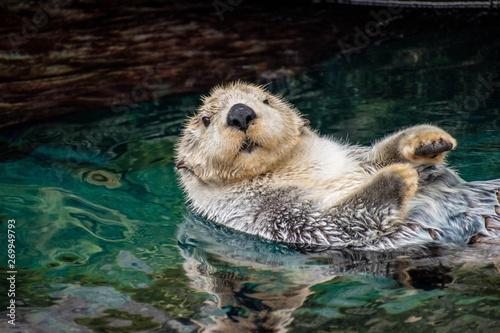 Fototapeta sea otter, Lisboa, March 2019 obraz